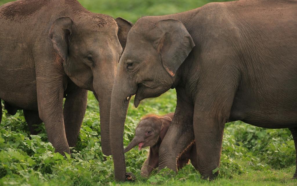 minneriya elephant gathering sri lanka
