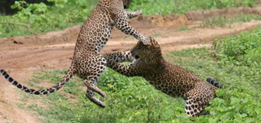 Leopard fight yala national park
